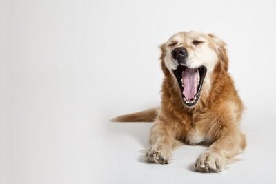目を閉じて大きなあくびをする犬