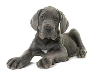 こちらを見つめるグレートデーンの子犬