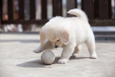 ボールを真剣に見つめている子犬