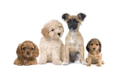 4匹の種類が異なる小型犬たち