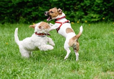 芝生の上でケンカする2匹の犬