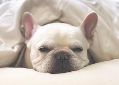 布団で寝ているこくぼの写真