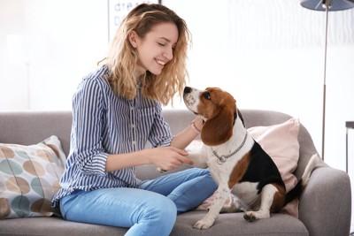 ソファーに座って飼い主と見つめ合うビーグル犬
