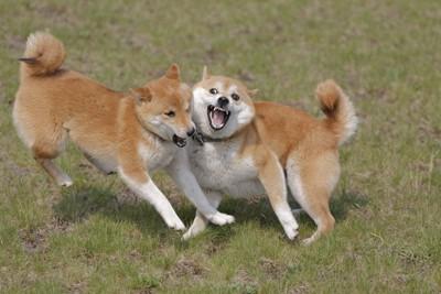 じゃれて遊ぶ柴犬二頭