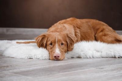 白い毛足の長いマットの上にいる犬