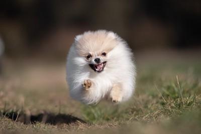 走って向かってくるポメラニアンの子犬