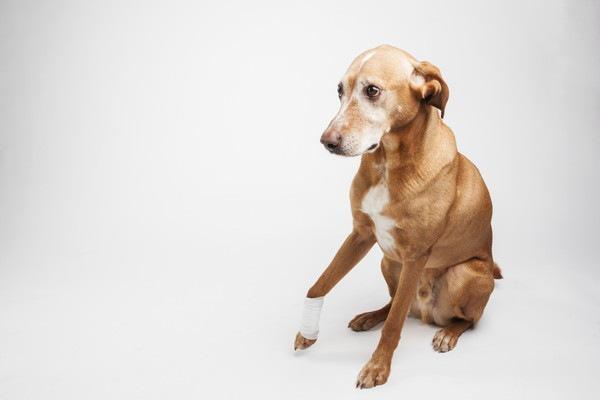 片足に包帯を巻いた犬