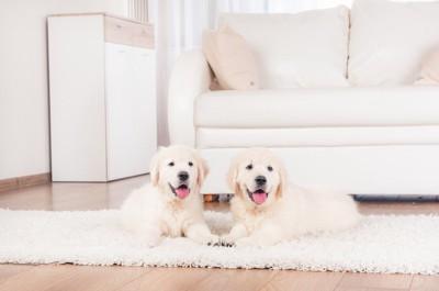 白い部屋のカーペットの上でくつろぐ二匹の子犬