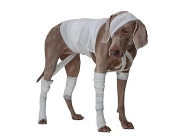 身体中に包帯を巻かれた犬