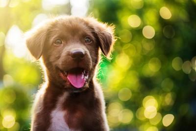 垂れ耳の子犬