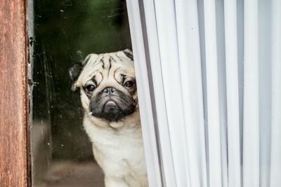 寂しそうに外を眺めているパグ