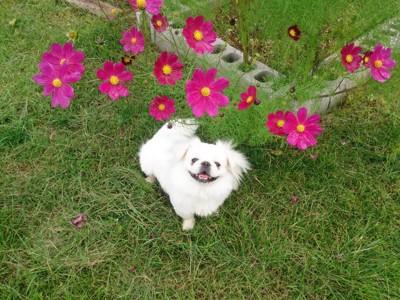 花とペキニーズ