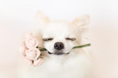 花を咥えて笑うチワワ