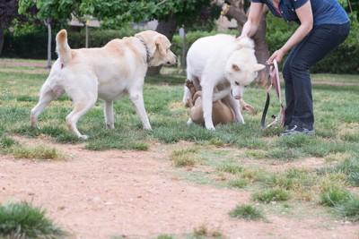 じゃれ合う3匹の白い犬とリードを持つ人