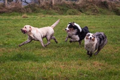 走って遊ぶ3頭の犬