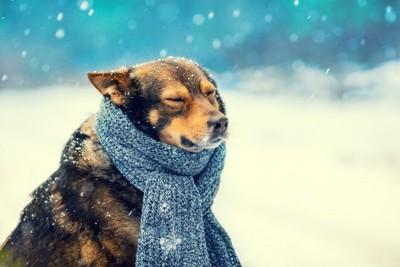 雪の中でマフラーをしている犬