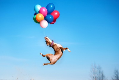 ジャンプして風船を捕まえる犬