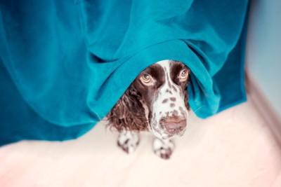 青い布の下から顔をのぞかせる犬