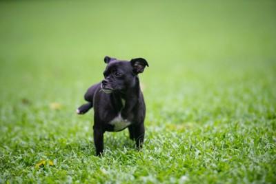 芝生でおしっこする黒い犬
