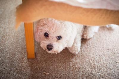 椅子の下に隠れて不安そうな犬