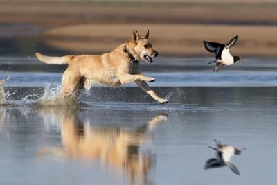 湖面で鳥を追いかける犬