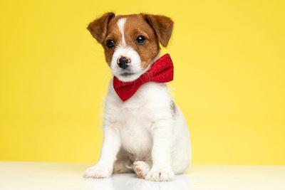 赤いリボンを着けておすわりするジャックラッセルテリアの幼犬