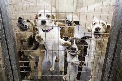 檻の中からこちらを見つめる犬たち
