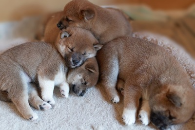 寄り添って眠る4匹の子犬