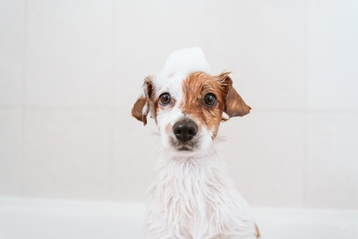 キョトンとしたシャンプー中の犬
