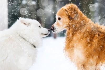雪の中で顔を合わせている二頭の犬
