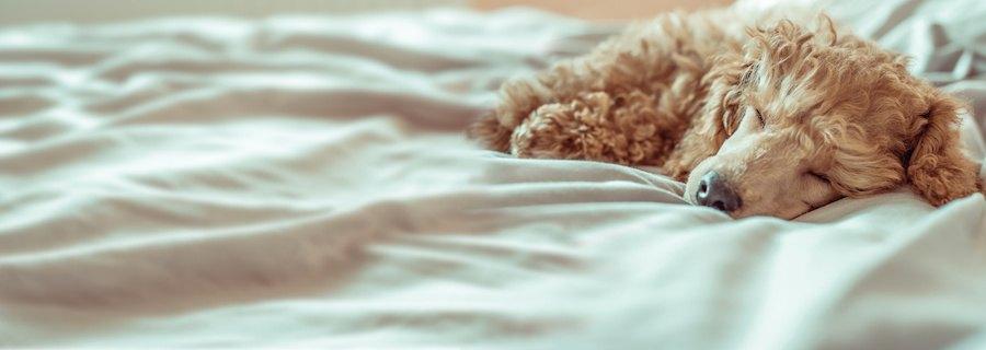 ベッドの上で気持ち良さそうに眠るプードル