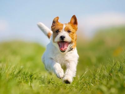 芝生を笑顔で走る犬