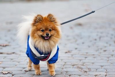 散歩中の青い服を着たポメラニアン