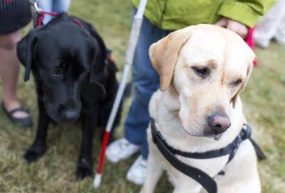 同じ方向を見つめる2頭の盲導犬