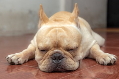 寝るブルドッグ