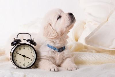 時計の横でくつろぐ子犬