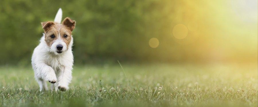 草原をこちら側に走ってくる犬