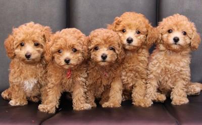 一列に並んだトイプードルの子犬たち