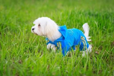 立ち止まる服を着た犬