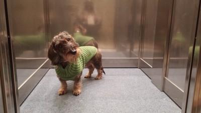 エレベーター内で首をかしげる犬