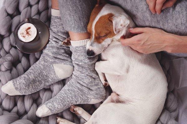 飼い主の足元で横たわって寝るジャックラッセルテリア