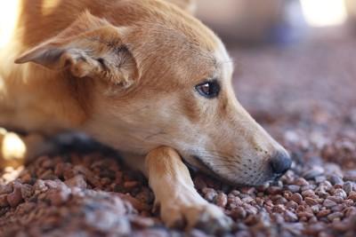 悲しげな犬の顔アップ