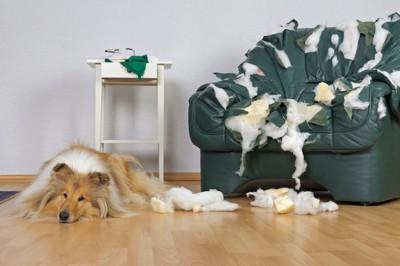 破壊したソファーのそばでふて腐れている犬