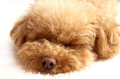 睡眠中のトイプードル