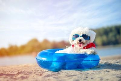 サングラスを着用した白い犬、青い浮き輪