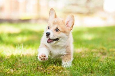 芝生の上を歩くコーギーの幼犬