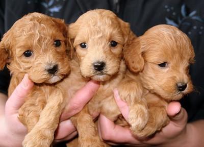 3頭の子犬