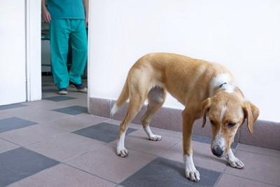 獣医師の足元と尻尾を下げて怯える犬