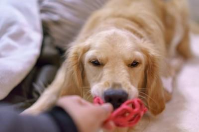 飼い主とオモチャで遊ぶ犬