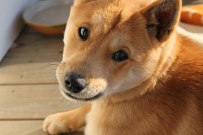 振り返る柴犬の子犬